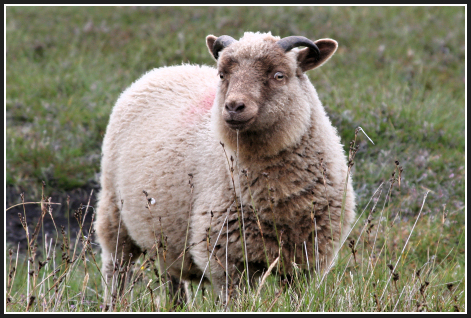 Cute_sheep_1