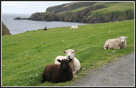 More_sheep